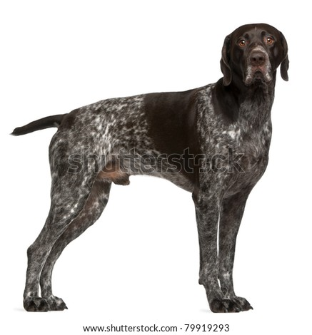 German Shorthaired Pointer, 3 years old, standing in front of white background - stock photo
