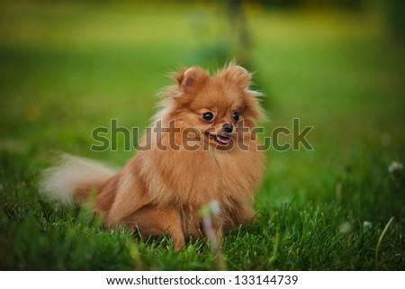 German Spitz dog - stock photo
