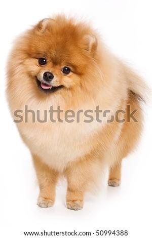 German Spitz dog on white background - stock photo
