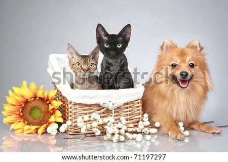 German Spitz dog with Devon Rex cats on a grey background - stock photo