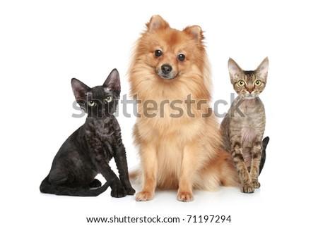 German Spitz dog with Devon Rex cats on a white background - stock photo