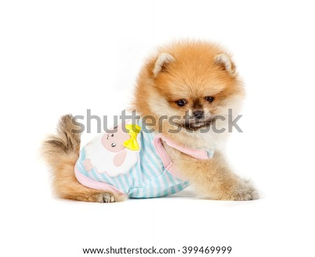 German Spitz miniature isolated on white background. puppy.