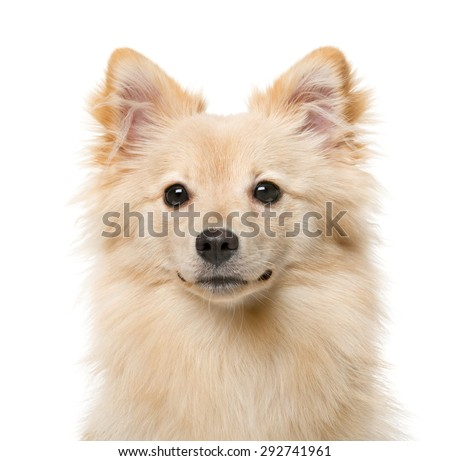 German Spitz (7 months old) in front of a white background - stock photo