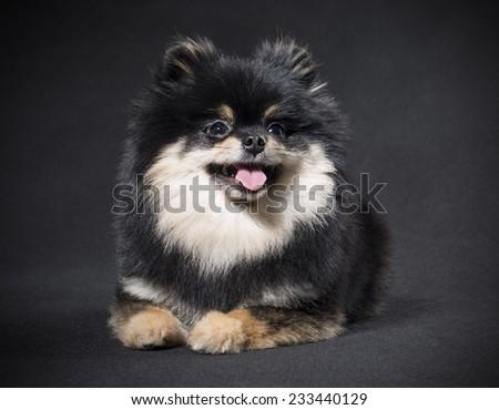 German Spitz on a black background - stock photo