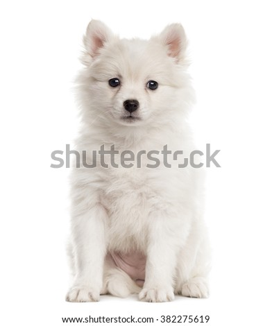 German Spitz puppy sitting and looking at the camera isolated on white (2 months old) - stock photo