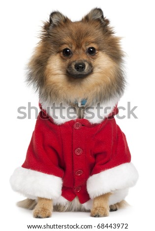 German Spitz wearing Santa outfit, 8 months old, sitting in front of white background - stock photo