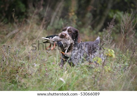 German Wire-haired Pointer retrieving a duck - stock photo