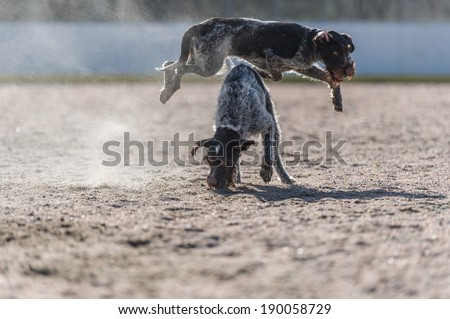 German wire-haired pointers, adult and puppy playing outdoors with a ball