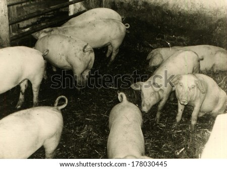 GERMANY -  August 18, 1970: An antique photo shows pig farm - stock photo