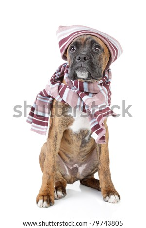 Germany Boxer puppy in warm hat and scarf on a white background
