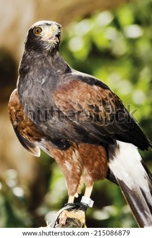 Germany, Harris Hawk in zoo