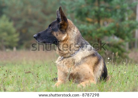 germany sheep-dog