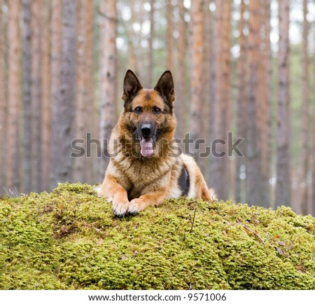 Germany Sheep-dog - stock photo