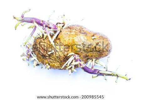 Germinate potato isolated on white background - stock photo