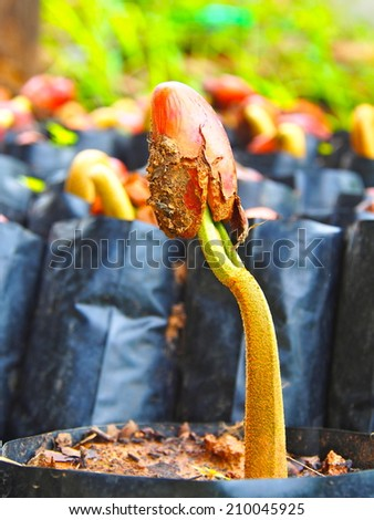 Germinated Durian Seed - stock photo