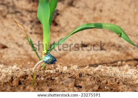 Germinated maize seed with small maize plant in the background - stock photo