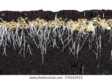 germinating cereal from long roots - stock photo