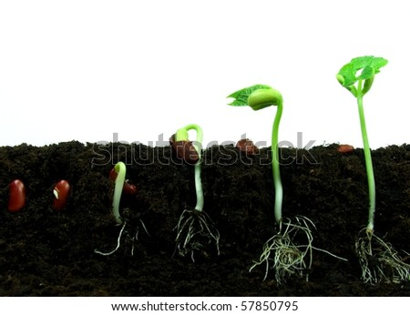 Germination of bean seeds in sequence - stock photo