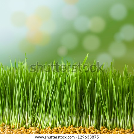 Germs of young wheat in herb - stock photo