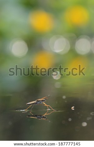 Gerris lacustris, commonly known as the common pond skater or common water strider  - stock photo