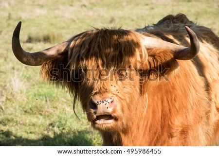 Get these flies off my face. The face of a Highland cow covered with flies.
