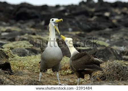 Get Your Message Across! Two albatross birds facing each other. One bird is with an open beak. - stock photo