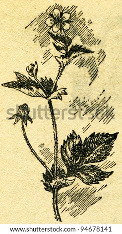 """Geum urbanum, also known as wood avens, herb Bennet, colewort and St Benedict's herb - Latin herba benedicta - an illustration from the book """"In the wake of Robinson Crusoe"""", Moscow, USSR, 1946 - stock photo"""
