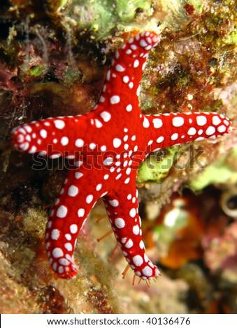 ghardaqa sea star (fromia ghardaqana) - stock photo