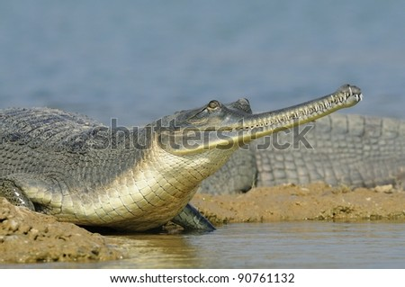 Gharial in India - Chambal River - stock photo