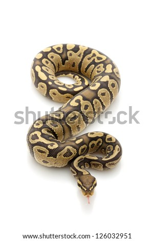 ghost ball python (Python regius) isolated on white background. - stock photo