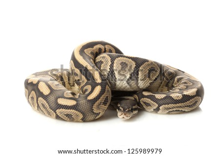 Ghost black pastel ball python (Python regius) isolated on white background. - stock photo