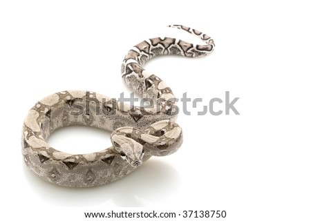 Ghost Columbian red-tailed boa (Boa constrictor constrictor) isolated on white background - stock photo