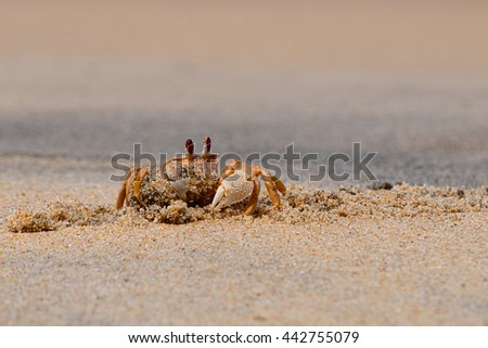 Ghost crab, Ocypode madagascariensis, digging a burrow at the beach - stock photo