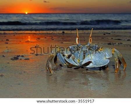 Ghost crab (Ocypode sp.) on the beach at sunset, Mozambique, southern Africa - stock photo