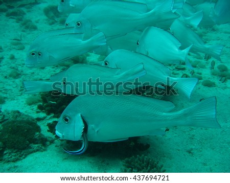 Ghost Snapper in shoal with cleaner fish cleaning gills. Underwater Photography on the East African Coast.