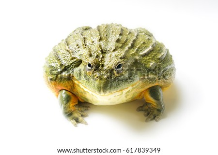 Giant African BullFrog isolated on white background