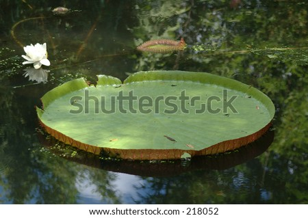 Giant Amazon Lily Pad with flower - stock photo