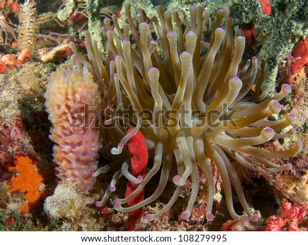 Giant Anemone on a coral reef amongst many sponges.
