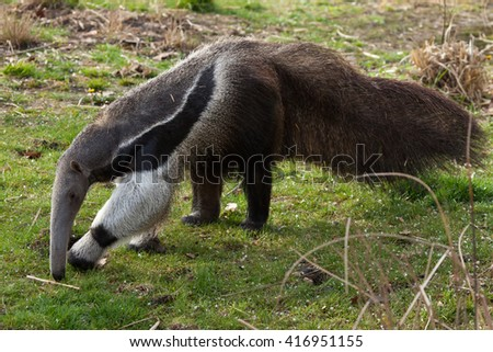 Giant anteater (Myrmecophaga tridactyla), also known as the ant bear. Wild life animal.  - stock photo