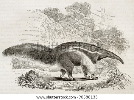 Giant Anteater old illustration. By unidentified author, published on Magasin Pittoresque, Paris, 1844