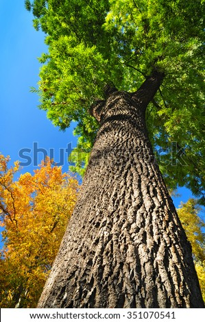 Giant ash tree, nature Fraxinus - stock photo