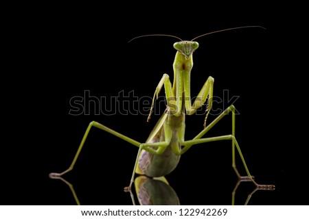 Giant Asian Praying Mantis (Hierodula membranacea) isolated on black background. - stock photo