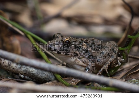 Giant asian river frog