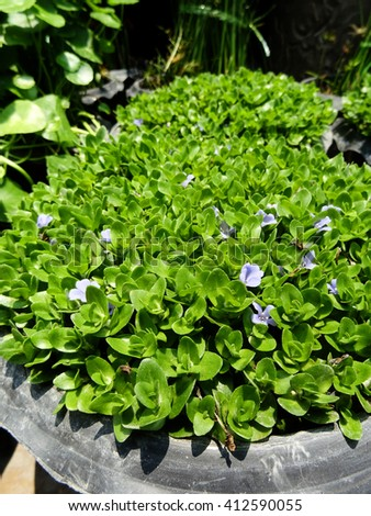 Giant bacopa aquatic plants with purple flowers blooming inside clay pots fill with water in a flower market, Bangkok, Thailand. - stock photo