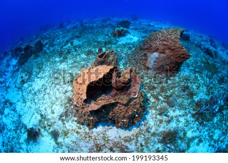 Giant barrel sponges in the tropical coral reef of the caribbean - stock photo