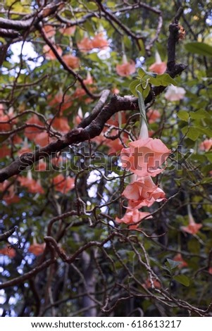 Giant bell shaped pale pink flowers stock photo 100 legal giant bell shaped pale pink flowers on plumeria tree angel trumpet flowers mightylinksfo