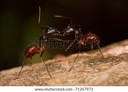 Giant Black Jungle Ant - stock photo