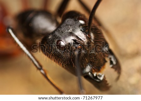 Giant Black Jungle Ant - stock photo
