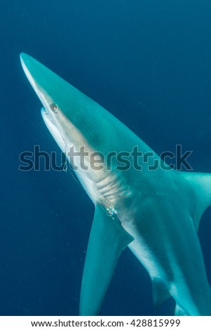 Giant Blacktip swimming in deep blue water - stock photo