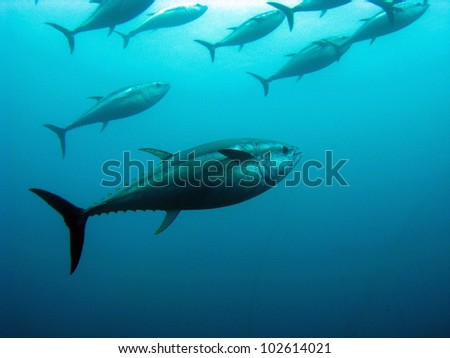 Giant bluefin tuna  - stock photo